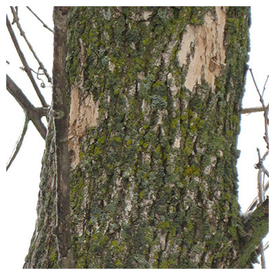 tree with signs of woodpecker activity