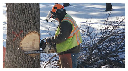 removing an infected ash tree
